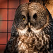 great gray owl by Sam Scholes