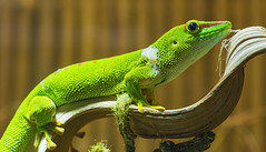 Gecko on the branch