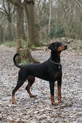 praå¾skã½ krysaå™ãk(0.0), dobermann(0.0), transylvanian hound(0.0), dog breed(1.0), animal(1.0), dog(1.0), german pinscher(1.0), manchester terrier(1.0), pet(1.0), jagdterrier(1.0), miniature pinscher(1.0), pinscher(1.0), toy manchester terrier(1.0), english toy terrier(1.0), austrian black and tan hound(1.0), polish hunting dog(1.0), carnivoran(1.0),