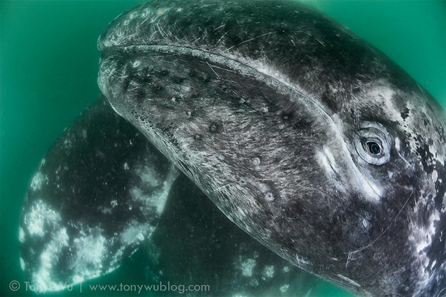 Gray Whale Calf in Magdelena Bay
