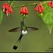 Booted Racket-tail hummingbird (Ocreatus underwoodii) by Glenn Bartley - www.glennbartley.com