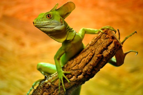 [フリー画像素材] 動物 (その他), 爬虫類, トカゲ, グリーンバシリスク ID:201302261000