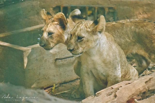 Baby lions zoobic safari