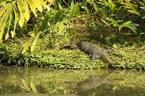 swamp dweller