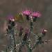 Colia común (Colias crocea)