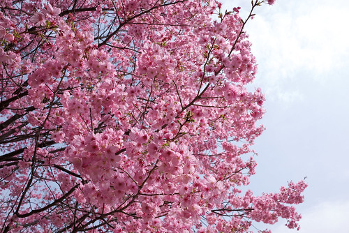 Cherry Blossoms - Pink