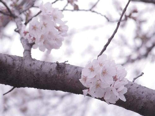 Sakura bloom in Tokyo 02