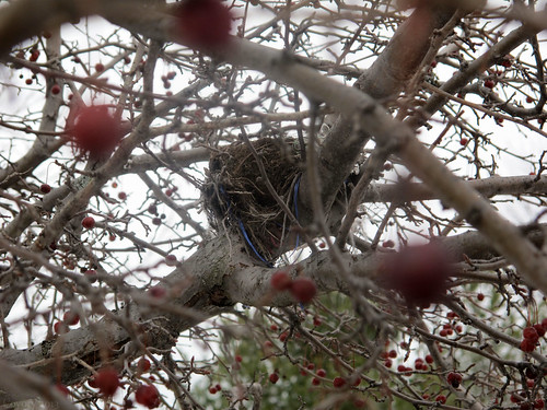 Chokecherry tree bird's nest by Coyoty
