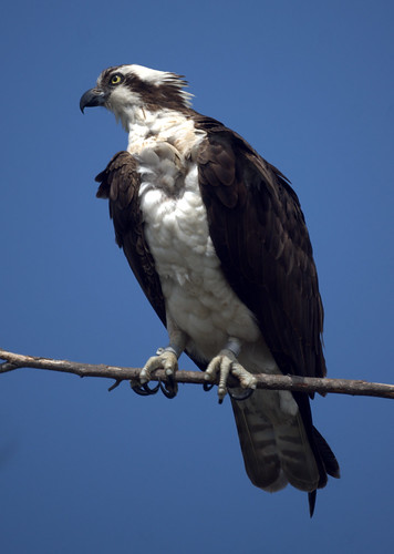 Osprey by Mike's Birds