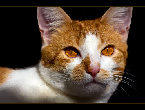 Ramses and his amber eyes by FocusPocus Photography