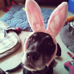 Lola the #easter #mutt #dogstagram #dobermanmix #adoptdontshop #rescue