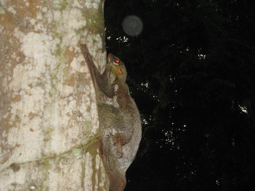 x colugo wild in Singapore IMG_6232