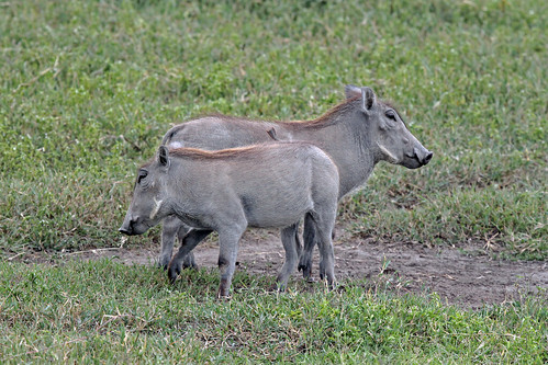 Warthogs by TonyKRO
