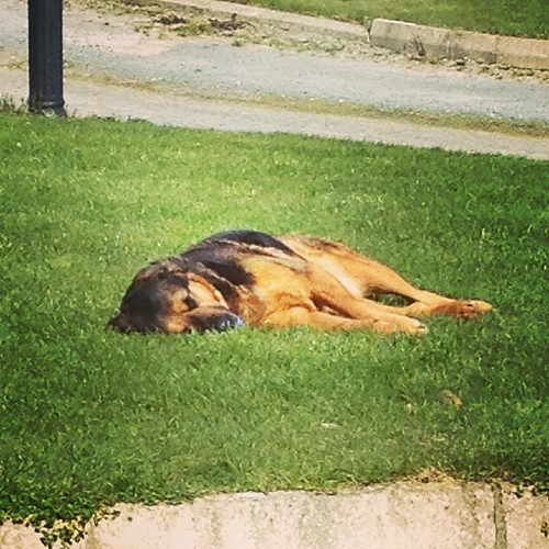 Sleepy time for #freya - she's tired from sleeping. You know how it is. #freya #snoreymcsnoreson #fourleggedfriend #wupster #freya #dogstagram #instadog #bestfriend