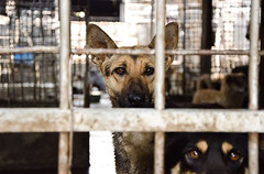 CHINA, SEPTEMBER 2013 - Investigators infiltrate the dog and cat meat mafia