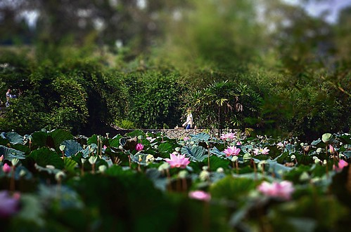 Passing by lotus pond