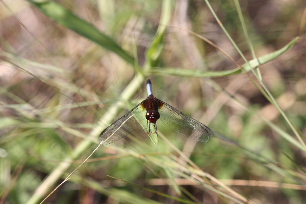 Red-faced Dragonlet at Cansaburro Dunes, Veracruz