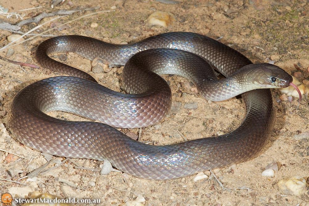 Dunmall's snake (Furina dunmalli)