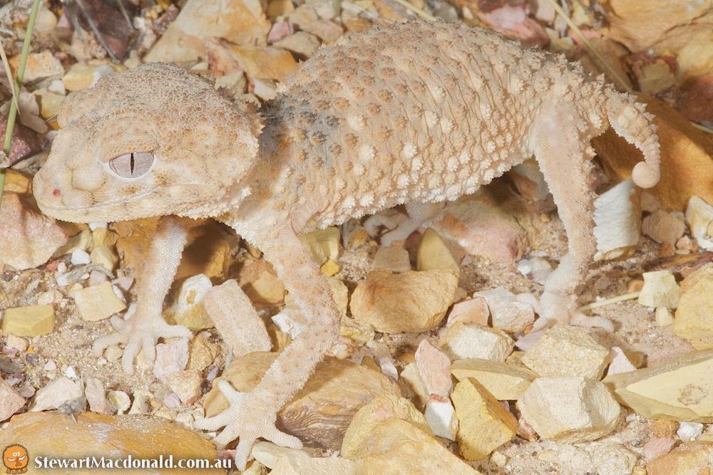 Prickly knob-tailed gecko (Nephrurus asper)