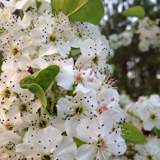 Pretty pear tree blossoms in my in laws back yard! #spring #pretty #flowers