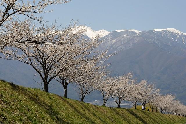 三峰川河川敷の桜並木
