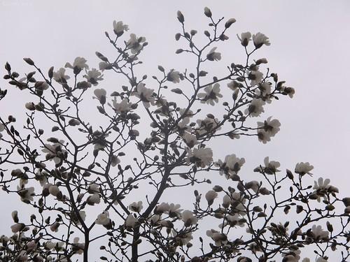 Magnolia profile by Coyoty