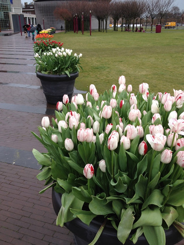 Tulips - path to Reijksmuseum