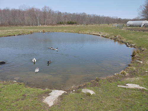 Our very full pond, April 2013