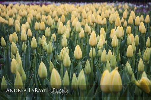 park flower green nature floral rain yellow flora nikon midwest blossom ks naturallight tulip bloom kansas tuliptime bud topeka raindrop gagepark d5000 andrealarayneetzel