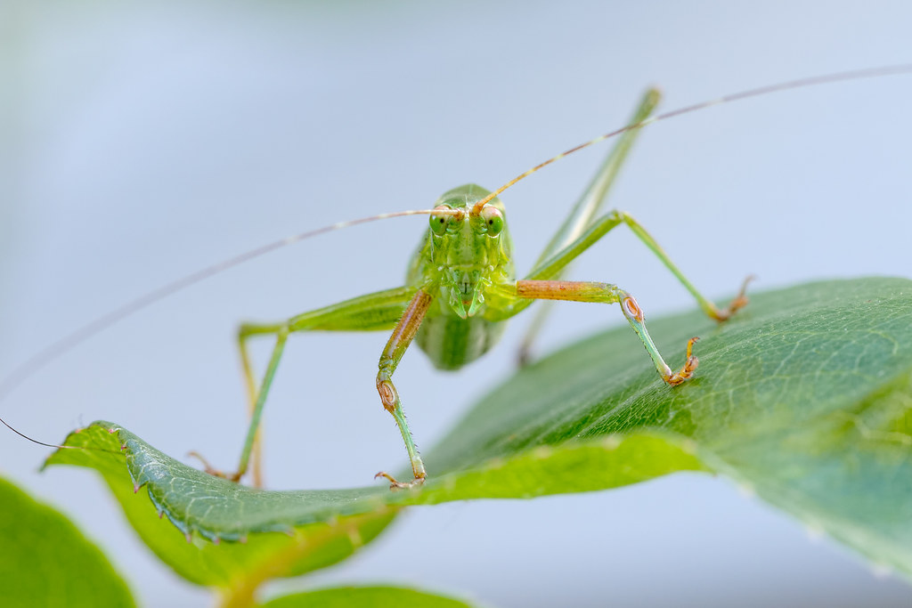 A view from the front of a male fork-tailed bush katydid nymph
