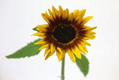 Prizewinning sunflower