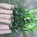 Panatola 126 cuttings