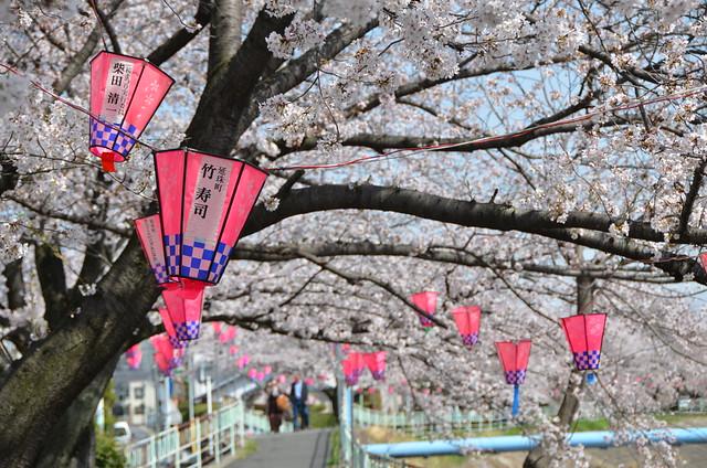 CherryBlossom_14