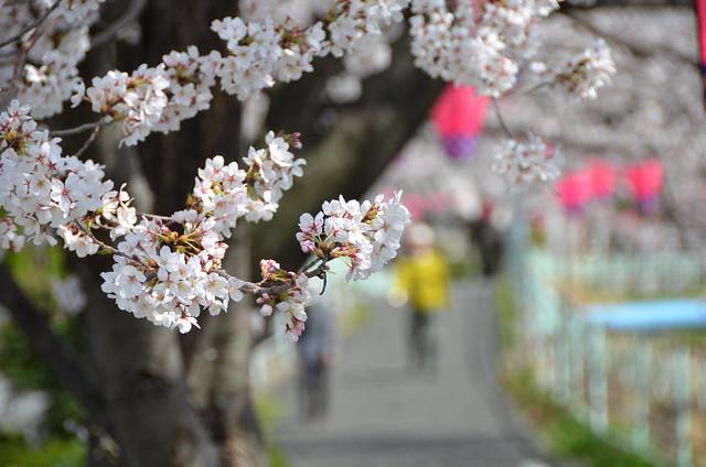 CherryBlossom_15