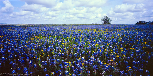flowers 120 film mediumformat geotagged texas bluebonnet panoramic wildflower filmscan texaswildflowers lupinustexensis 21panoramic 6x12 horseman612 horseman6x12 horseman6x12panoramiccamera geo:lat=29971851213117247 geo:lon=9652553558349615