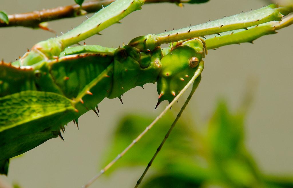 Jungle Nymphs (Heteropteryx dilatata)_4