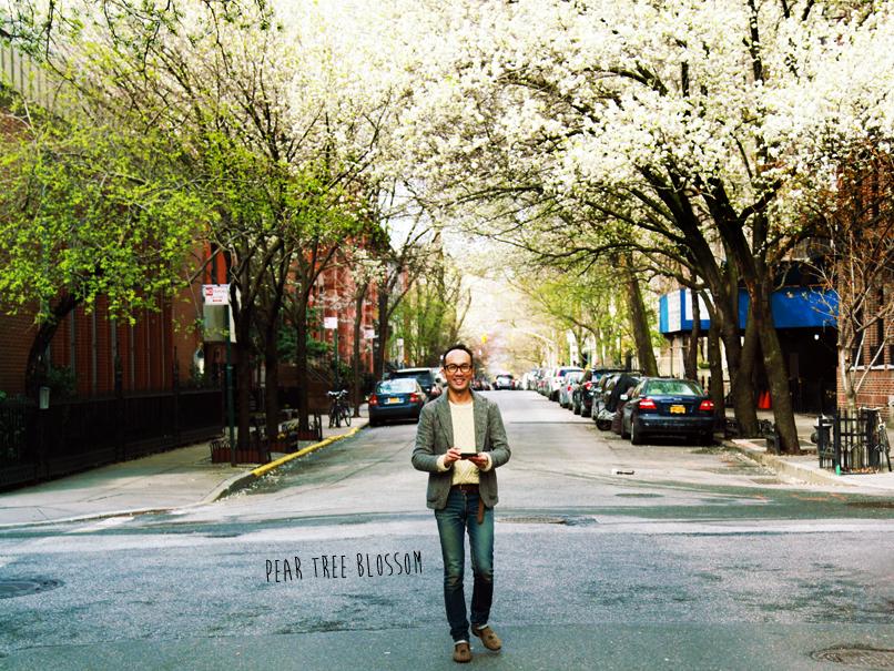 pear tree blossom 1