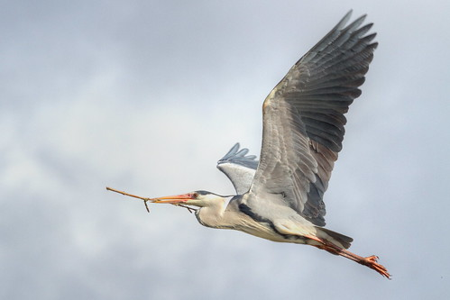 in flight The Grey Heron (Ardea cinerea by michael.jh