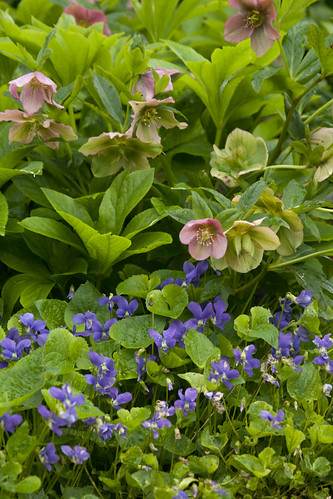 Violets and Hellebores