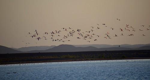 flamingoes flying over a lake in the sahara desert DSC_3246