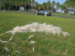 Imperata cylindrica Tomakin flowerhead1