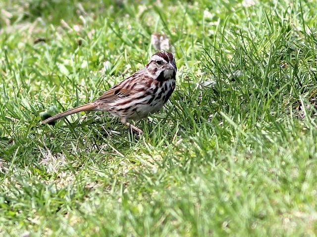 Song Sparrow 20130427