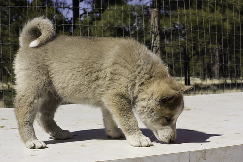 Ike-Kilbe-Pup2-Male(Day 40)-3