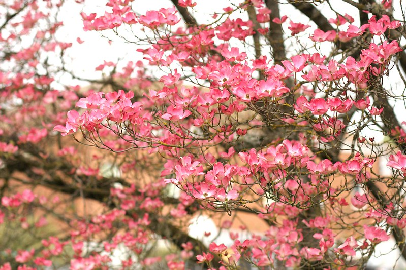 more dogwood blossoms at school