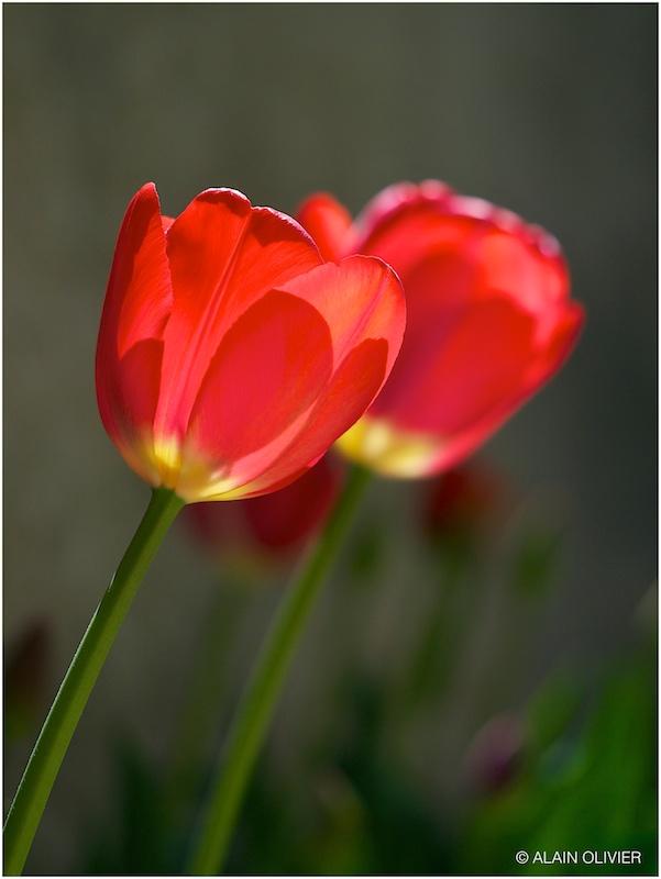Tulipe du 1er mai 8698740584_17ae57aaf4_c