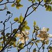 In the neighborhood…Magnolia grandiflora - 19