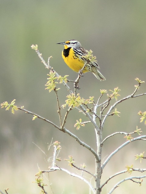 Eastern Meadowlark 20130502