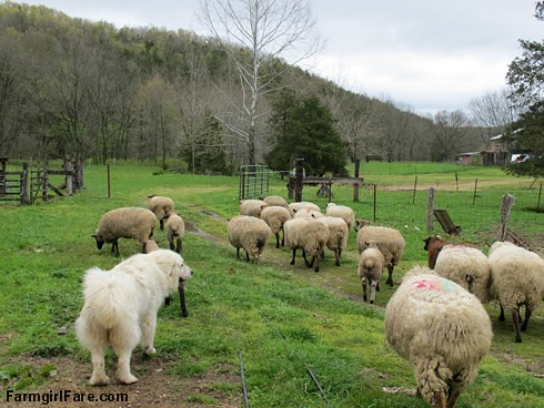 Sheep heading out to eat breakfast (2) - Great Pyrenees Daisy keeps an eye on the flock - FarmgirlFare.com