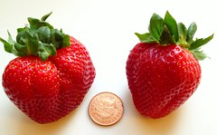 Super-sized Strawberries