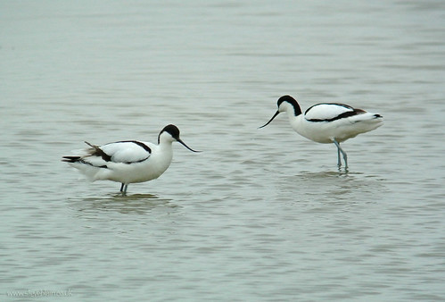 Avocets at Broom GP